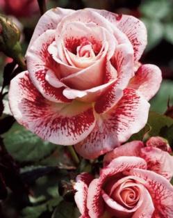 Conseils et astuces pour bouturer un rosier