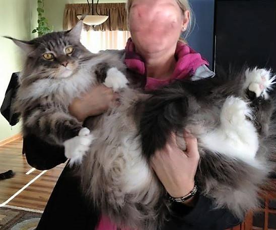 Les 10 chats les plus gros du Net !