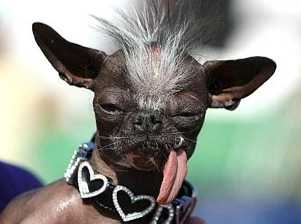 J'ai mis un colier, sinon on me confond avec un porc chinois..