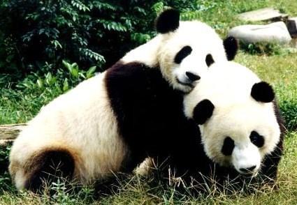 Des Pandas loués pour 750 000 € par la France !