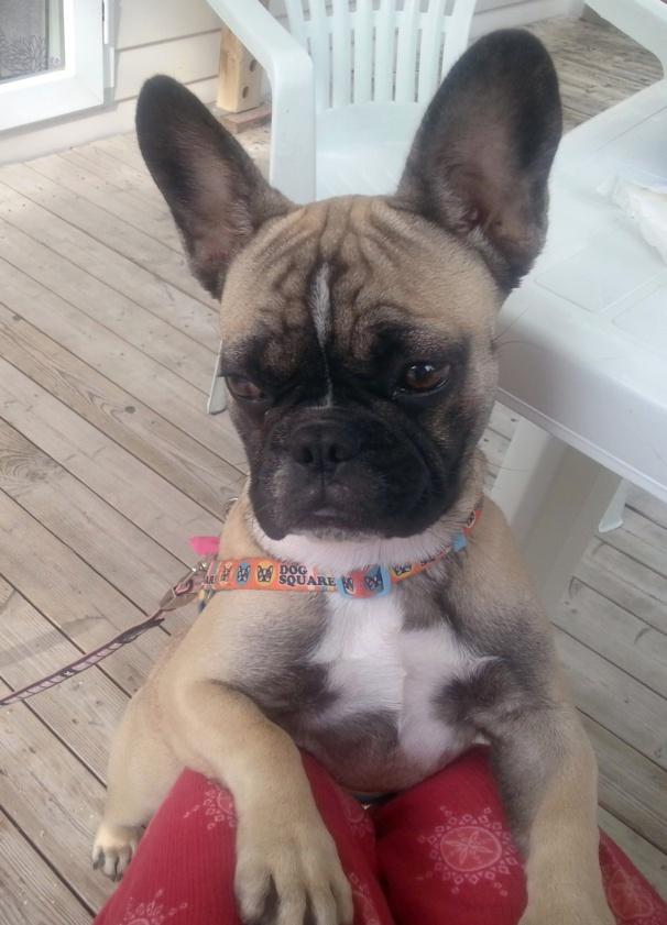 Aujourd'hui Louna a 6 mois, petit topo sur le bouledogue français.