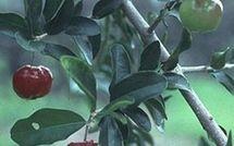 L'acérola : un concentré en vitamines !