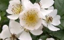 Les secrets de l' Eglantier : la rose des chiens !