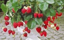 Idées plantations fraisiers