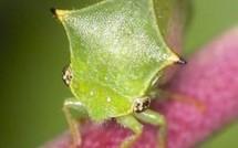 Les membracides : des mini-monstres surprenants