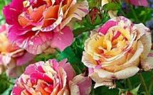 Comment tailler ses rosiers, des tutos