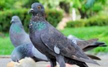 Et si le pigeon était finalement plus intelligent que nous ?